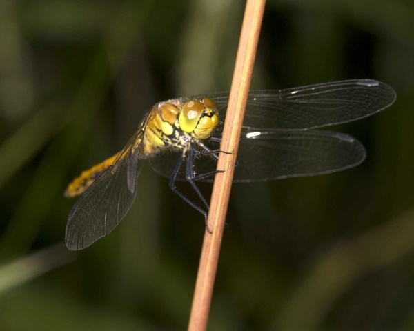 Dragonfly by astonm