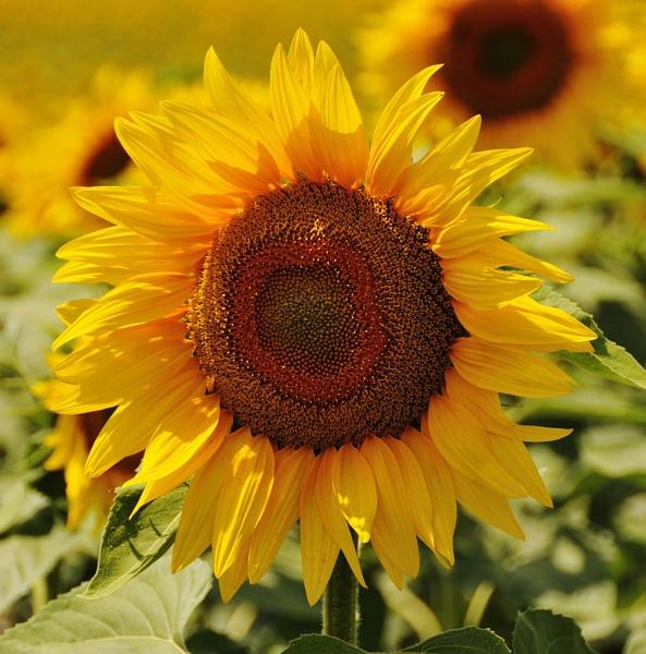 Sunflower by suemason