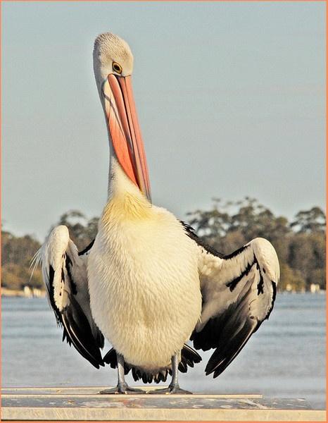 Pelican by goso