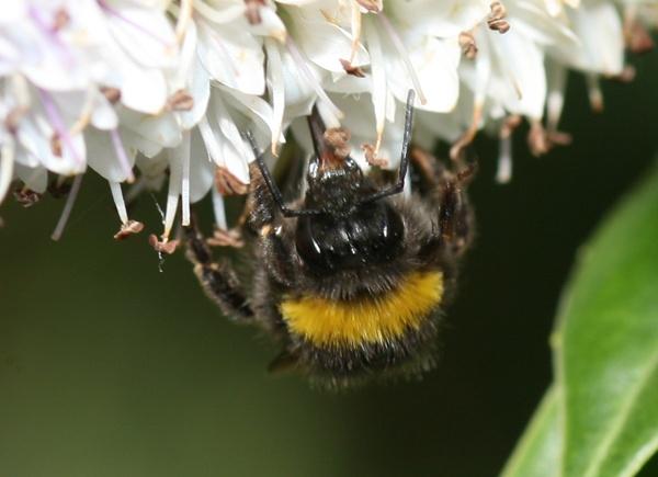 Bumble Bee by michaelo