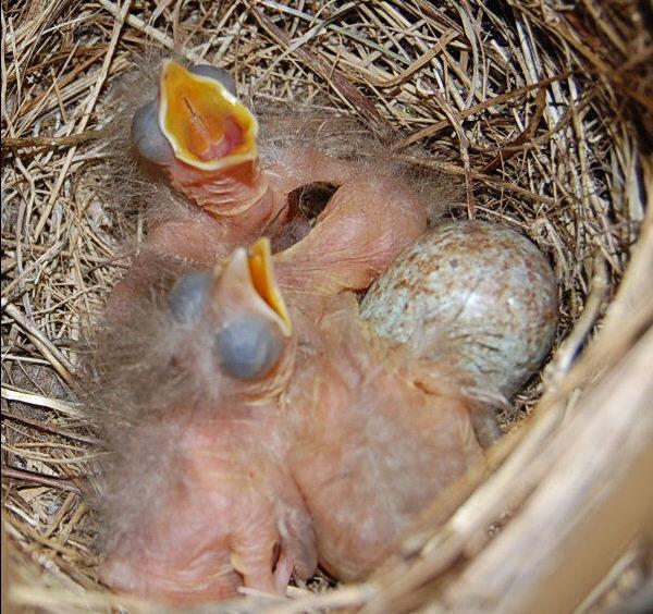 Blackbird Chicks by mollye