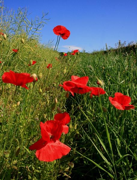 Poppies IV by happysnappa