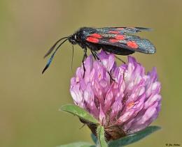 Five Spot Burnet Moth