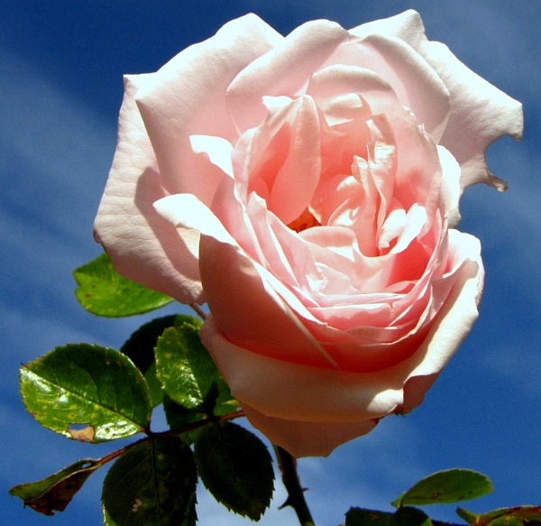 Pink Petals by MissPea