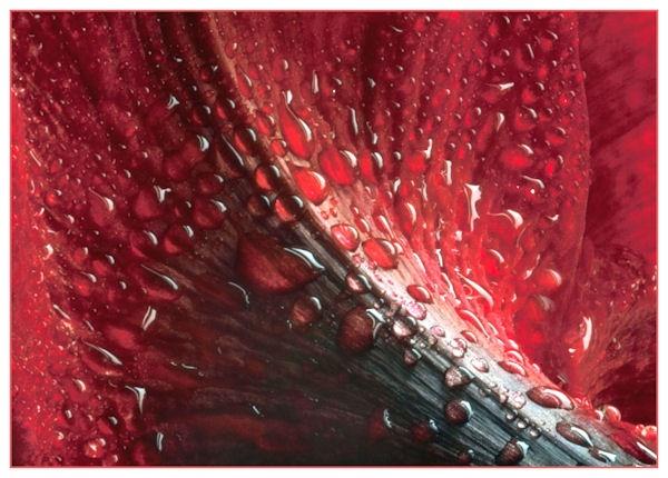 amaryllis after rain by thebigA