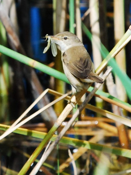 reed warbler by manorjim