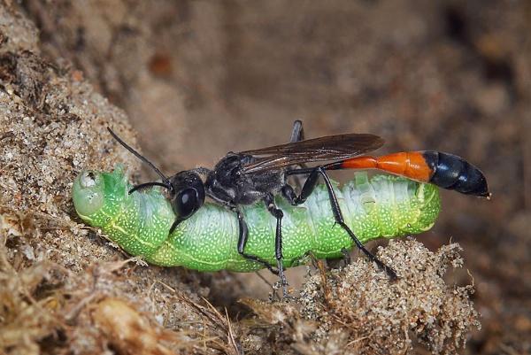 Sand Wasp (Hietapistiäinen, Spenslig sandstekel, Red-banded Sand Wasp) by fishing