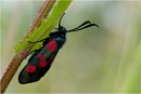 burnet moth by NEWMANP