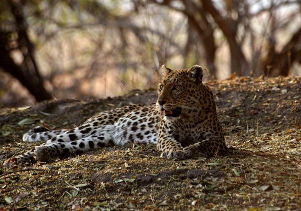leopard by wavey