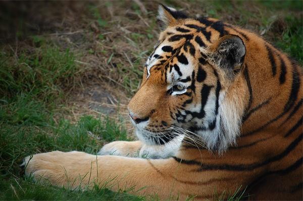 Panthera tigris by danleatherdale