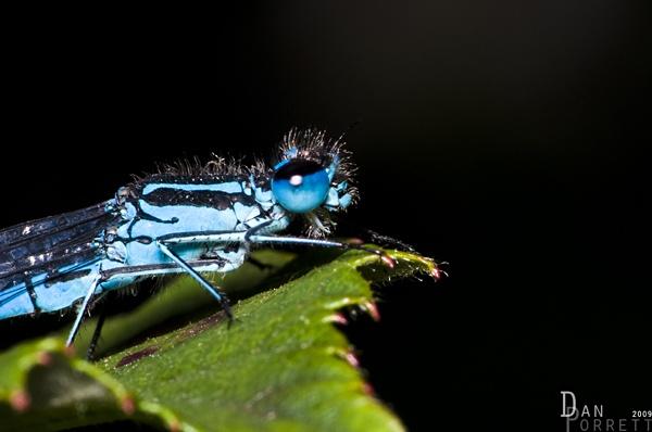 common blue damsel fly by DanielDCP