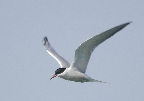 Tern by Paul-Collins