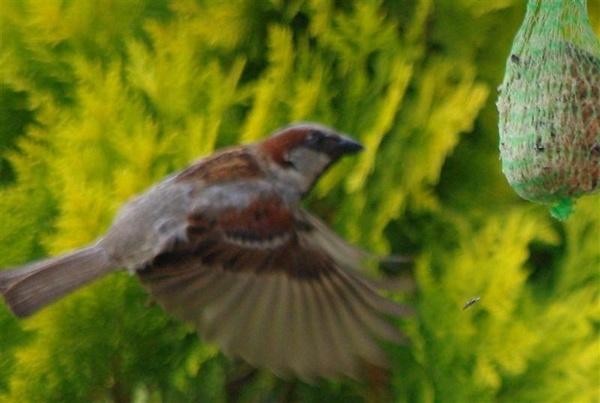 Sparrow in flight by elf69