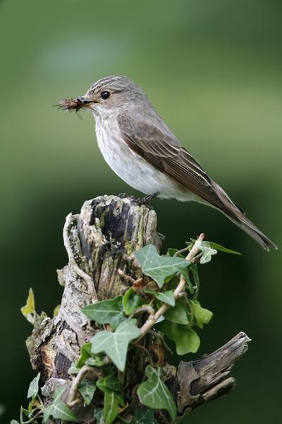 Spotted Flycatcher by GrahamDixon