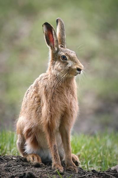 Hare by GrahamDixon