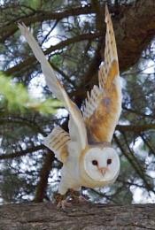BARN OWL ABUOT TO LAUNCH INTO FLIGHT