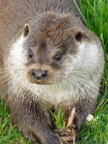 Otter Eating by darranl