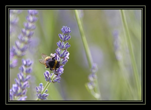 Lavender Honey by redstag