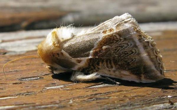 Buff Arches moth by CHIPPYX1X