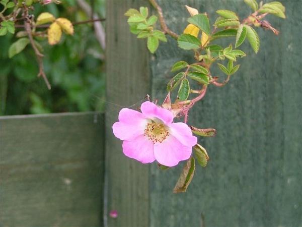pretty in pink by Rosie_cheeks