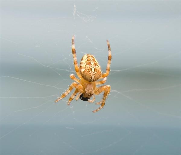 orange spider by Alex_M