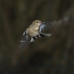 Slow Sync Flash Chaffinch