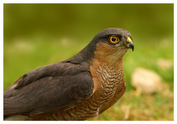 Sparrowhawk(W) by arhb