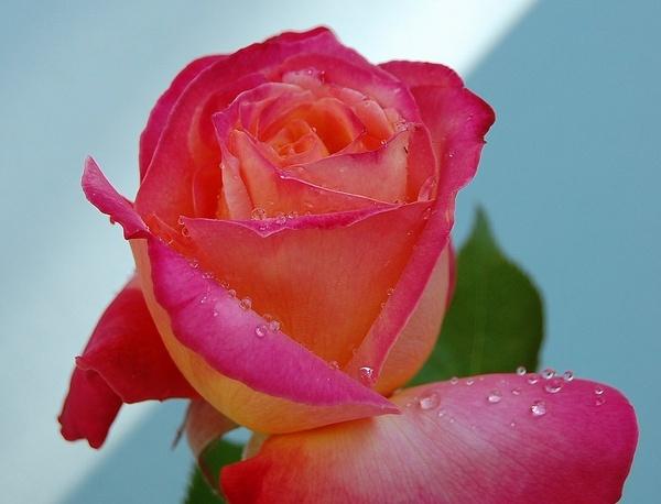 Rose by CherryMartin