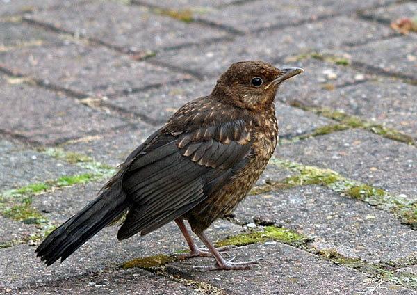 Baby Blackbird by betts
