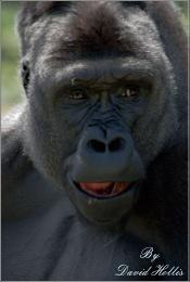 Talking Gorilla
