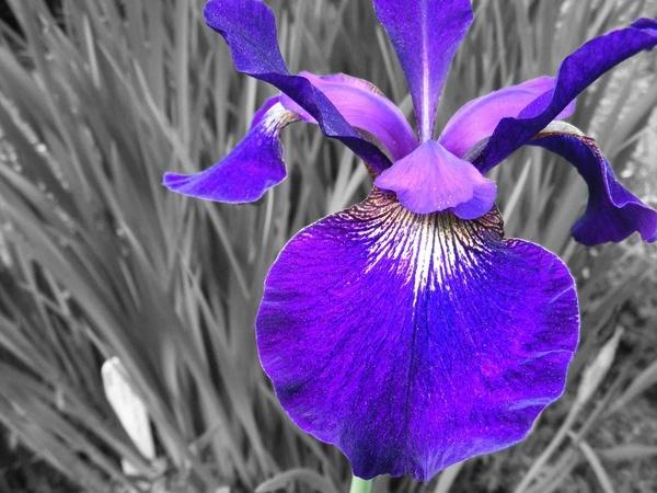 Iris by emmaA