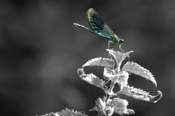 Dragonfly by migza001