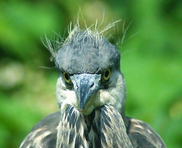 Heron Stare by SiSheff
