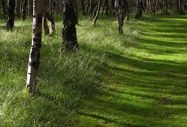 Through the Birchwood by alansdottir