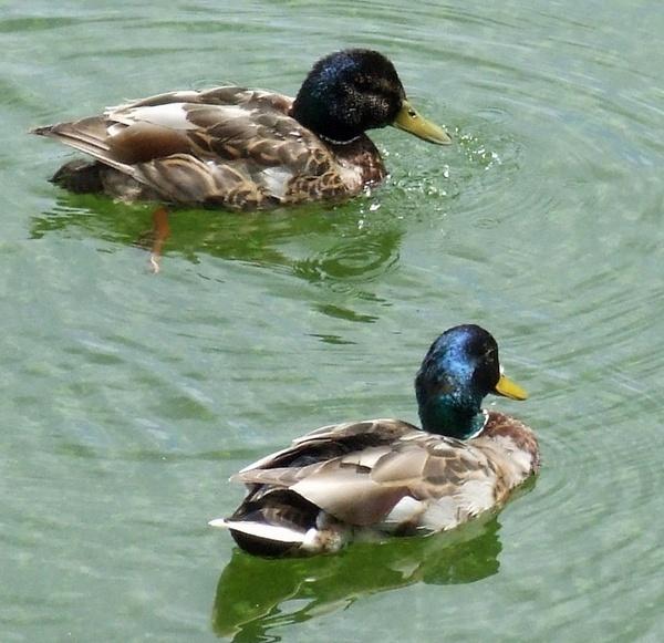 Two Ducks by RobbieWales