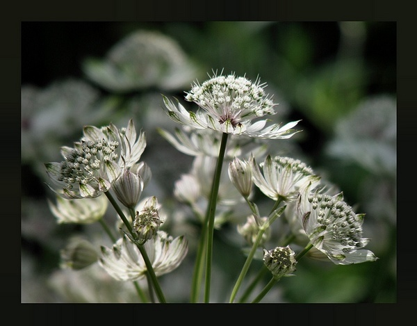 astrantia by MacroRebel