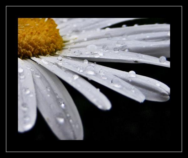 Daisy Dew by KEV67S
