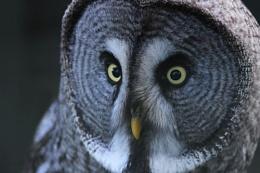 Great Grey Owl (c)