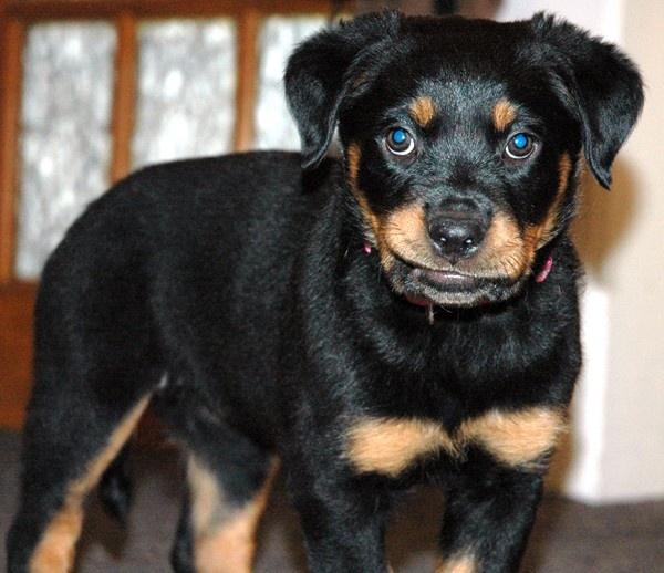 india 8 week old rottweiler puppy by darrennmel