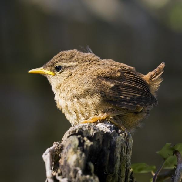 Wren fledgling by GrahamDixon