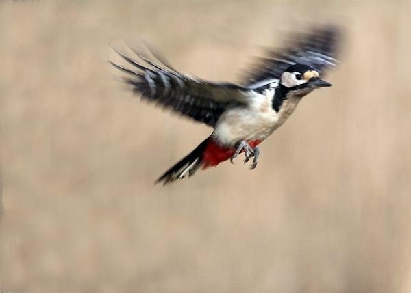 Flying woodpecker by Brian65