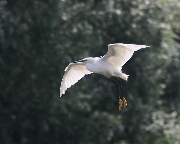 Egret in flight by Brian65