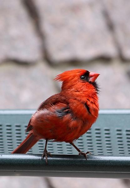 Cardinal by Kloid