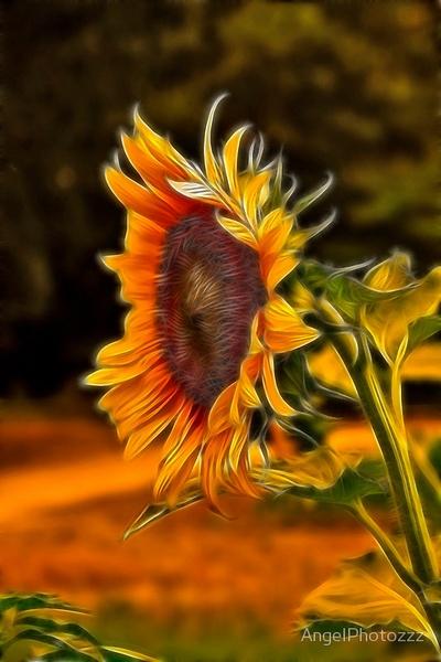 Sunflower Series by AngelPhoto