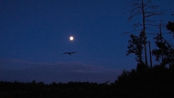 Nightjar by MikeA