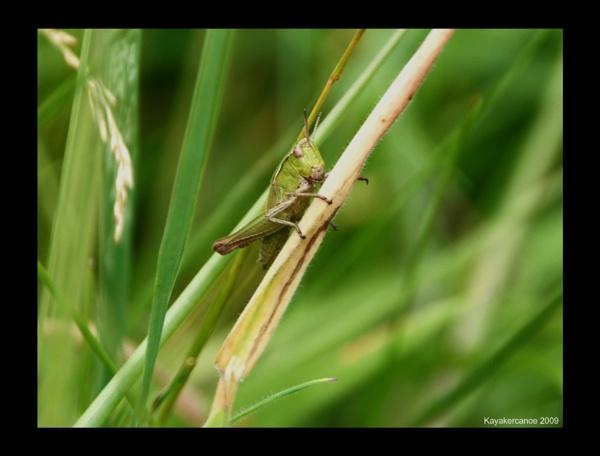 Grass Hopper by kayakercanoe