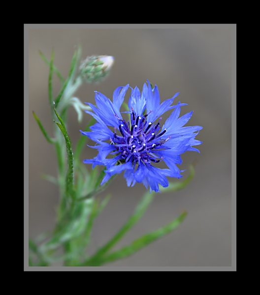 Blue Flower by m3lem