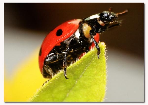 macro ladybird by patman
