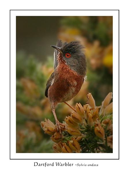 Dartford Warbler by SurreyHillsMan