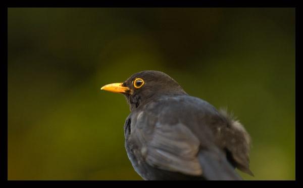 Blackbird by Wyn